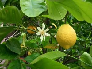 Citrus Lemonium